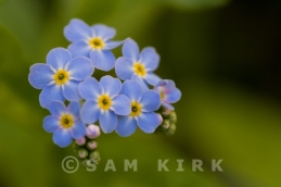 Water Forget Me Not II