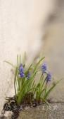 God of Small Things - Grape Hyacinth