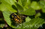 Hoverfly, London