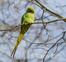 Parakeet, Crystal Palace