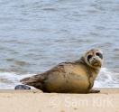 Seal Pup, Norfolk